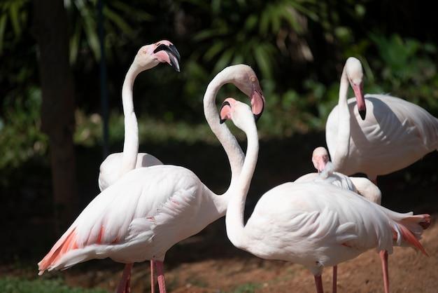 Flamingo no zoológico, tailândia