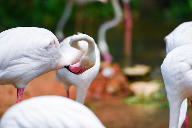 Flamingo pássaro rosa linda no lago rio natureza animais tropicais - maior flamingo