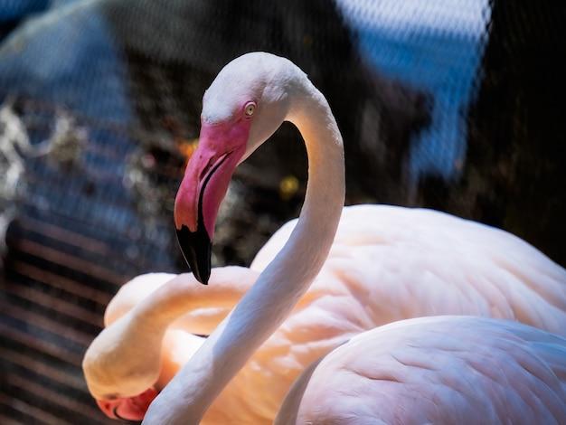 Flamingo phoenicopteridae belo pássaro