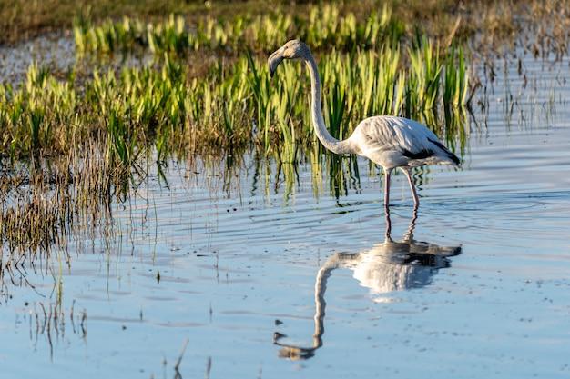 Flamingo rosa ao amanhecer no parque natural dos pântanos de ampurdan.