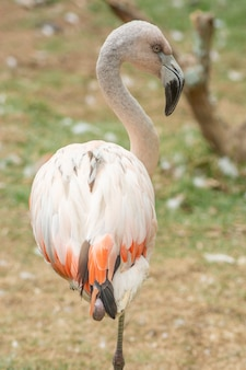 Flamingo rosa em pé em uma perna
