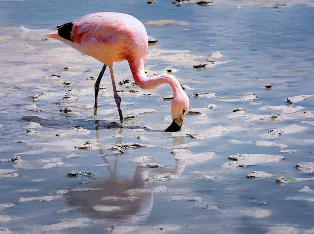 Flamingos andinos cor de rosa em laguna hedionda