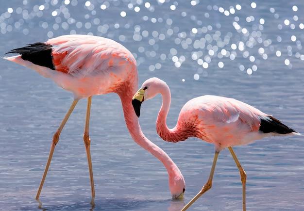 Flamingos andinos cor de rosa no lago de sal