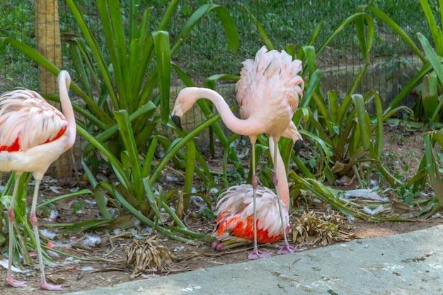 Flamingos ao ar livre em um lago no rio de janeiro, brasil.