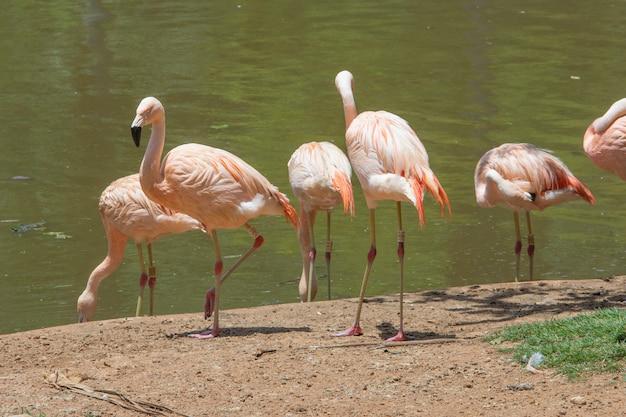 Flamingos cor de rosa ao lado de um lago em um zoológico.