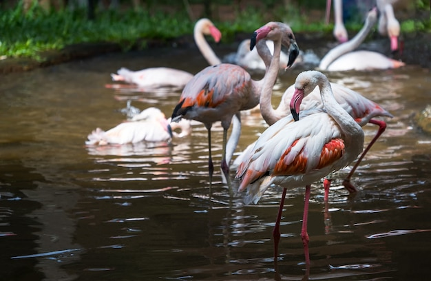 Flamingos cor de rosa no parque nacional das aves