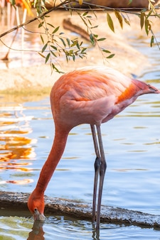 Flamingos na água