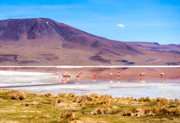 Flamingos na lagoa do colorado