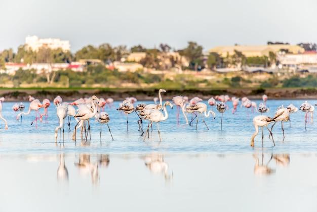 Flamingos no lago salgado de larnaca, chipre