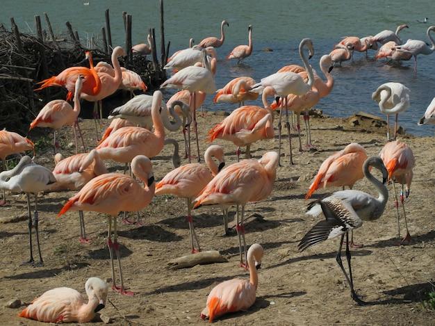 Flamingos no lago