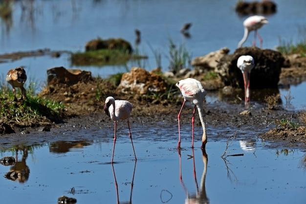 Flamingos no parque nacional lago nakuru áfrica