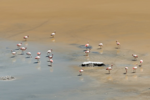 Flamingos no salar de pujsa, reserva nacional los flamencos, san pedro de atacama, província el loa,