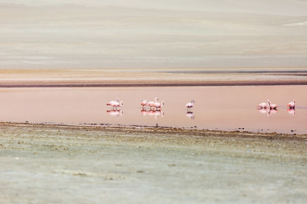 Flamingos rosa no deserto de ica peru
