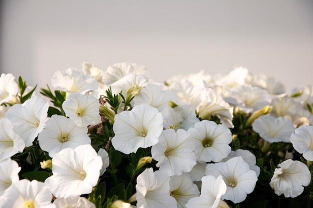 Flash forward flores de petúnia singenta branca.