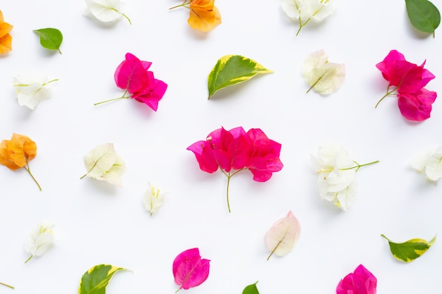 Flor alaranjada, branca e vermelha bonita da buganvília no branco.