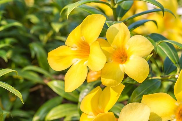 Flor amarela (allamanda cathartica)