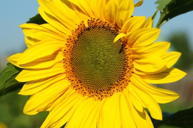 Flor amarela bonita de um fim do girassol acima.