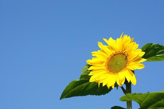 Flor amarela bonita de um girassol contra um céu azul claro.