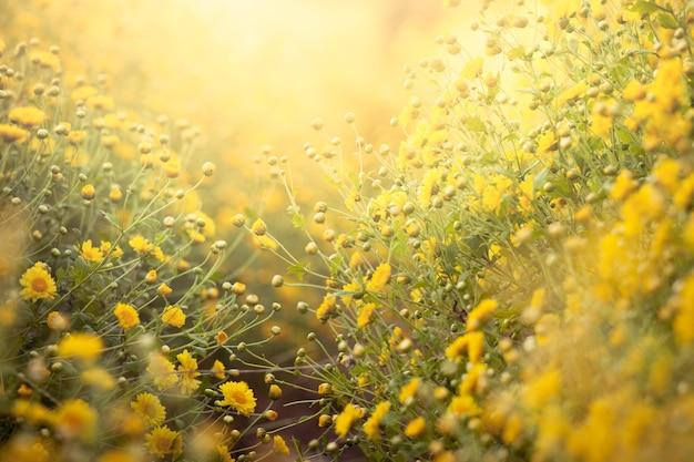 Flor amarela bonita do crisântemo no campo para o fundo