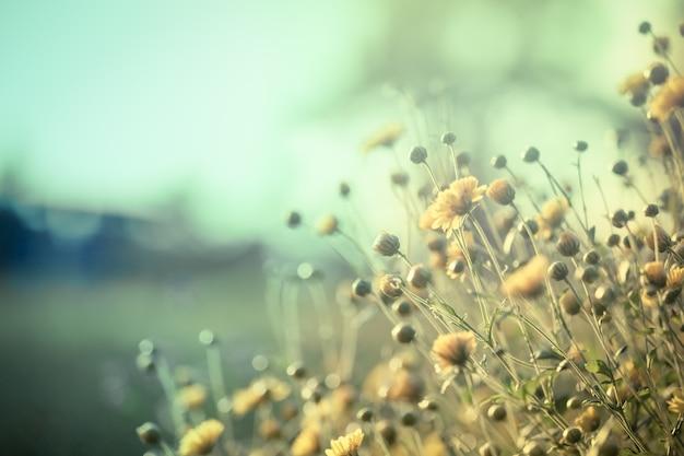 Flor amarela bonita do crisântemo no campo
