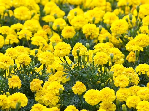 Flor amarela, calêndula no jardim