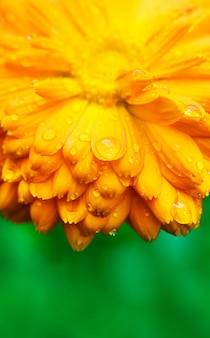 Flor amarela com close-up de pétalas molhadas.