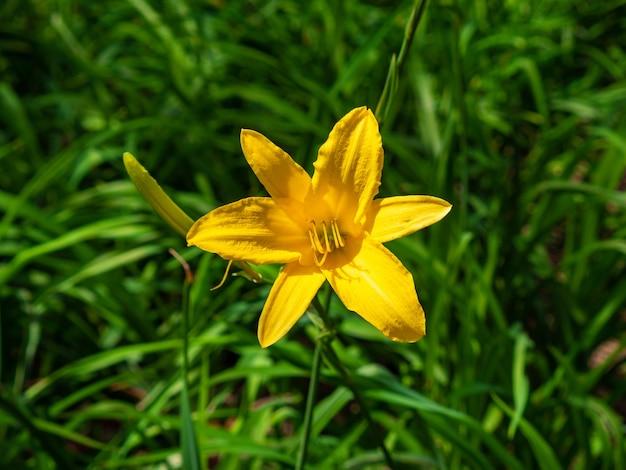 Flor amarela conhecida como lemon daylily