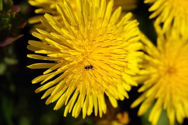 Flor amarela de áster com uma formiga preta, foco raso