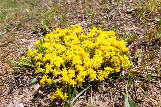 Flor amarela de baixo grau