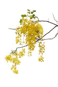 Flor amarela de fístula de cássia isolada no fundo branco