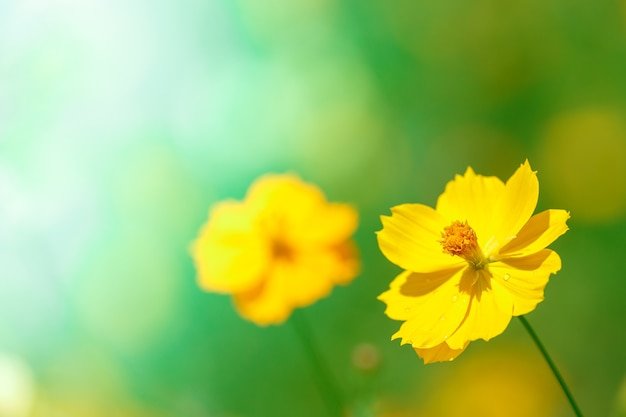 Flor amarela do cosmos contra a luz do sol da manhã