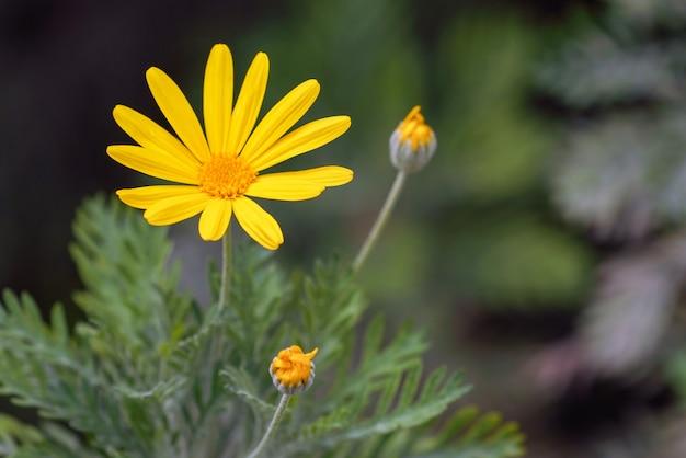 Flor amarela do cosmos no jardim