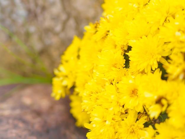 Flor amarela do crisântemo (morifolium do crisântemo) com fundo escuro.