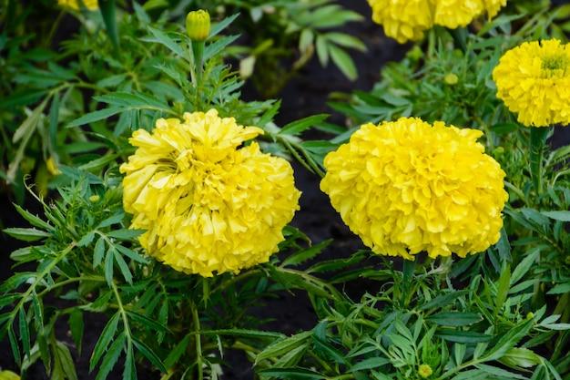 Flor amarela do crisântemo no jardim. ulyanovsk, rússia.