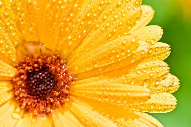 Flor amarela do gerber com gotas da água.