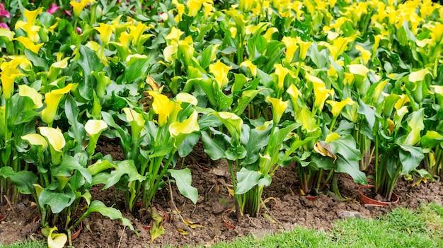 Flor amarela do lírio de calla em um jardim.