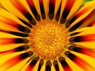 Flor amarela e vermelha, laranja