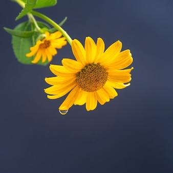 Flor amarela fresca com uma gota d'água em uma pétala. botânica e flores