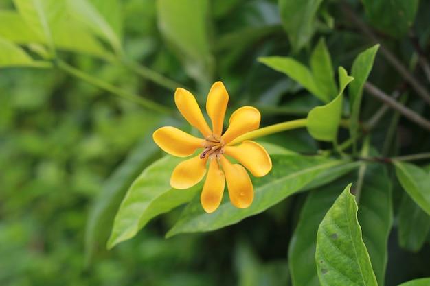 Flor amarela gardenia carinata wallich.