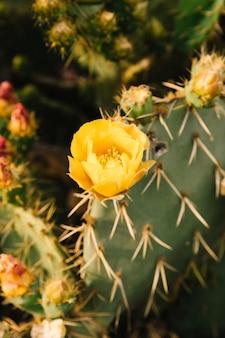 Flor amarela na planta do cacto exótico
