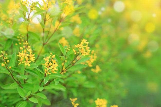 Flor amarela pequena no fundo borrado no jardim do verão. folhas da natureza do close-up e flor selvagem.