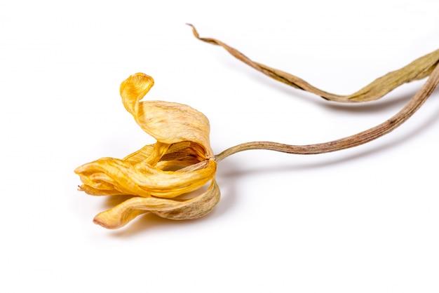 Flor amarela secada da tulipa sobre o fundo branco. flor murcha.