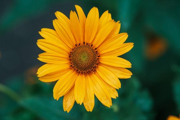 Flor amarela suculenta colorida com centro laranja e pétalas puras agradáveis vívidas. alcachofra de jerusalém de florescência em macro. close-up de florescência do helianthus tuberosus. bela flor de topinambur.