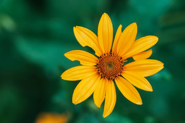 Flor amarela suculenta colorida com centro laranja e pétalas puras agradáveis vívidas.