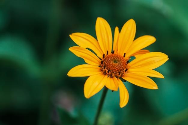 Flor amarela suculenta colorida