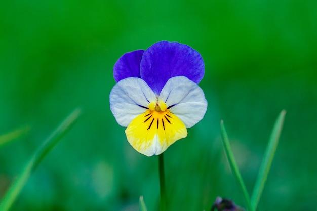 Flor amor-perfeito (viola tricolor) em fundo de grama verde