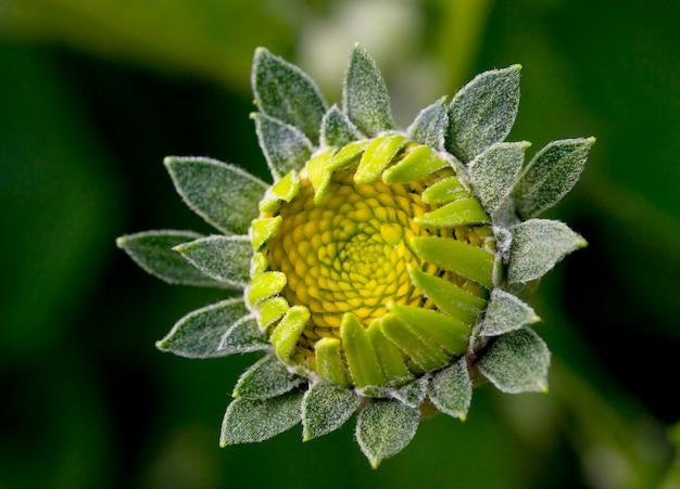 Flor antes do close-up das pétalas verdes não solicitadas