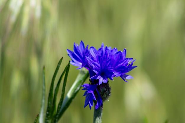 Flor azul centáurea fundo desfocado.