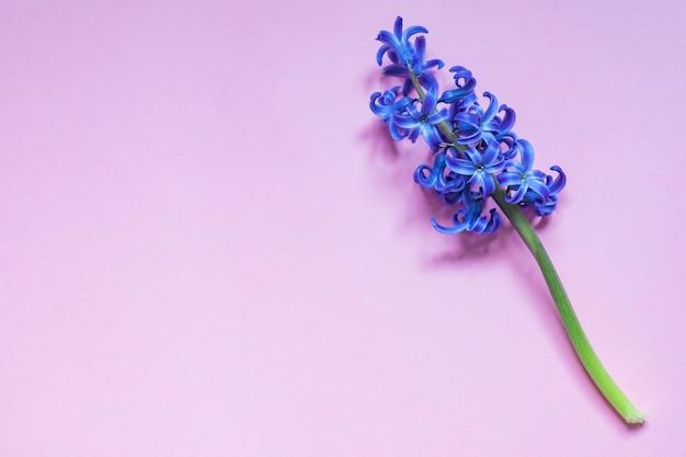 Flor azul hyacint em fundo gradiente roxo pastel. vista plana, vista superior, cópia espaço