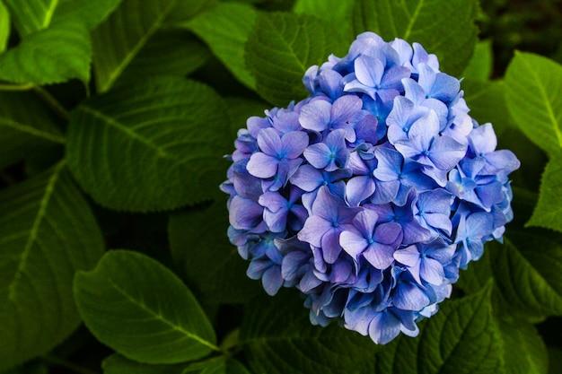 Flor bonita, flores da hortênsia, macrophylla da hortênsia que floresce no jardim japão.
